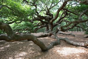 the sprawling angel oak tree